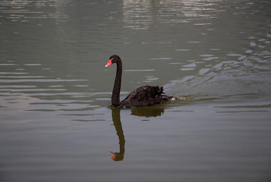 玉龙湖上的黑天鹅