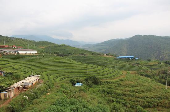 荣康达乌龙茶庄园