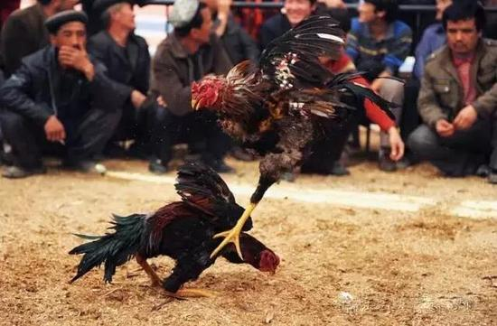 最热闹的斗鸡表演