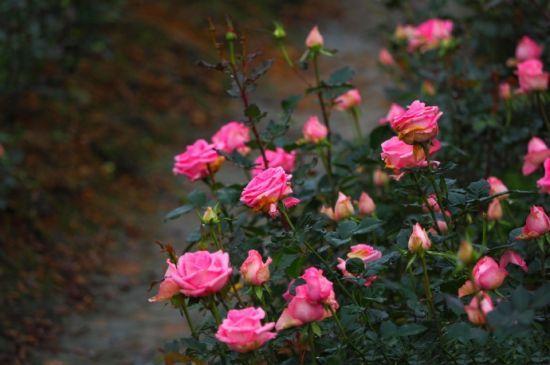 玫瑰庄园内盛放的玫瑰 图:新浪微博/菲伦热热