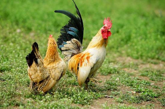 野生动物园迎来百种世界名鸡陪市民过节