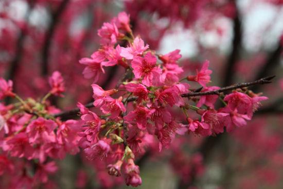 <a href='http://travel.sina.com.cn/nanning_shimensenlingongyuan-lvyou/?from=b-keyword' target='_blank'>石门森林公园</a>的樱花 图:新浪博主:@老树那生