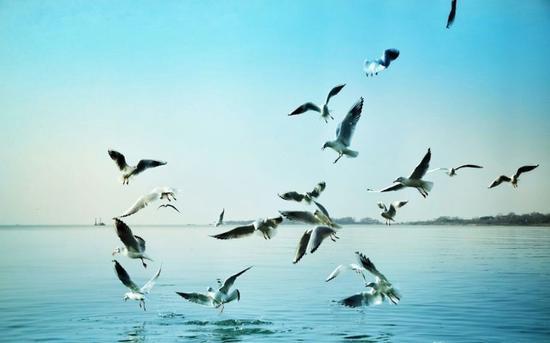 巢湖边海鸥 (摄影:@善良酱)