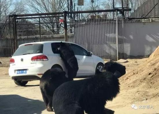 野生动物园轿车遭黑熊围堵