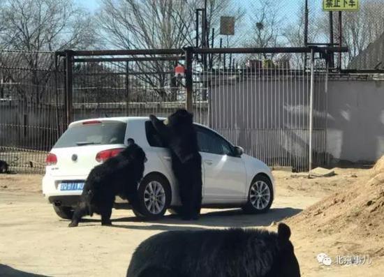 北京野生动物园轿车遭黑熊围堵 熊爪伸进车内