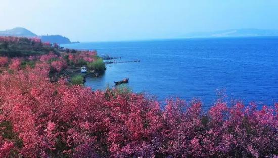 抚仙湖东岸500亩樱花盛开
