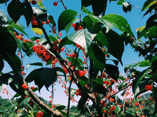 果园摘樱桃