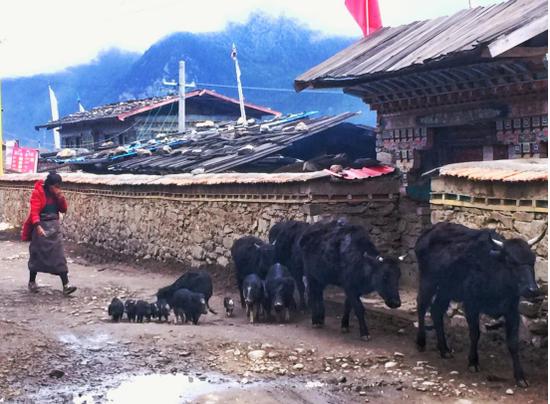 一位藏族姑娘正在把藏香猪和牦牛往山上赶在结巴村,建议逗留2小时,也可以在藏民旅馆入住一晚,驱车30分钟赶往巴松措