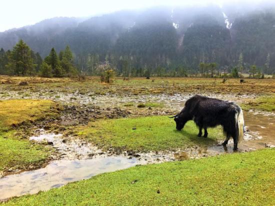 一只牦牛正悠闲的吃着青草