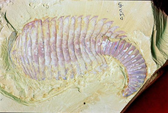 帽天山化石