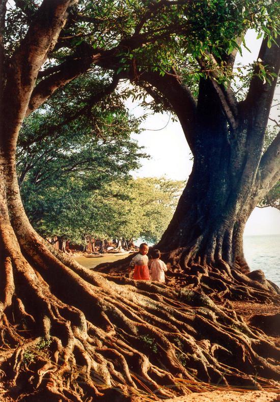禄充古榕树