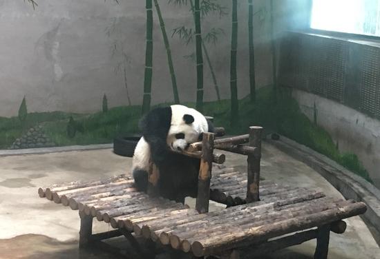 憨态可掬的大熊猫