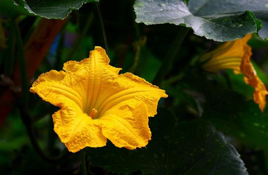 南瓜花做菜,吃起来有一种类似南瓜的清香味道( 图片来源POCO网  摄影/静听清溪)
