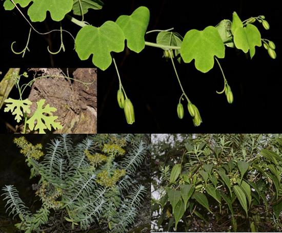 上图:有棱蒴莲;下左图:肯尼亚景天;下右图:近革叶马交儿瓜(图片来自网络)