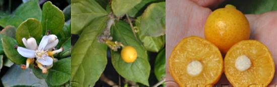 非洲樱桃橘(图片来自网络)