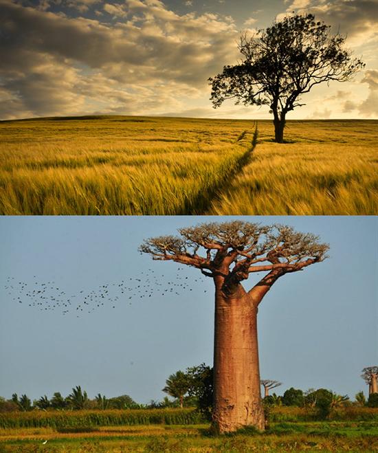 非洲草原及猴面包树(图片来自网络)