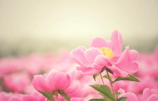 亳州市花:芍药