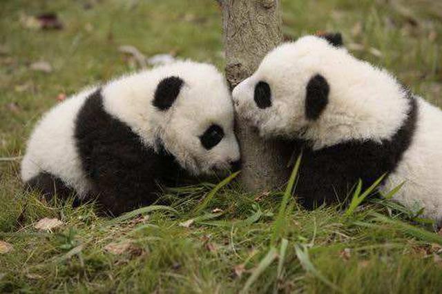 柏林动物园为旅德大熊猫双胞胎幼崽庆祝一岁生日