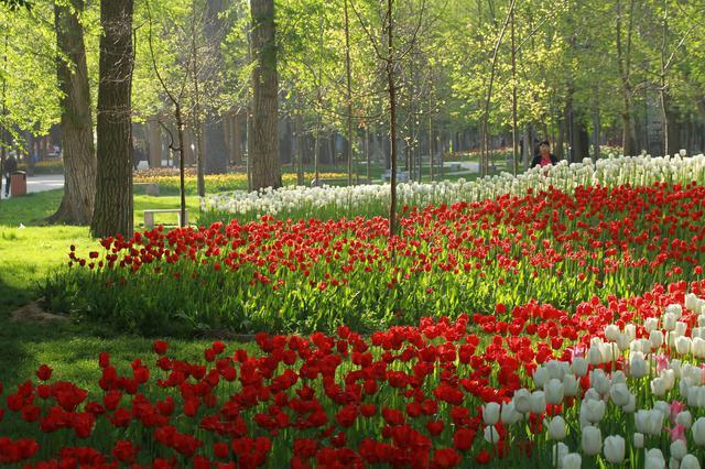 20万株郁金香盛放北京植物园