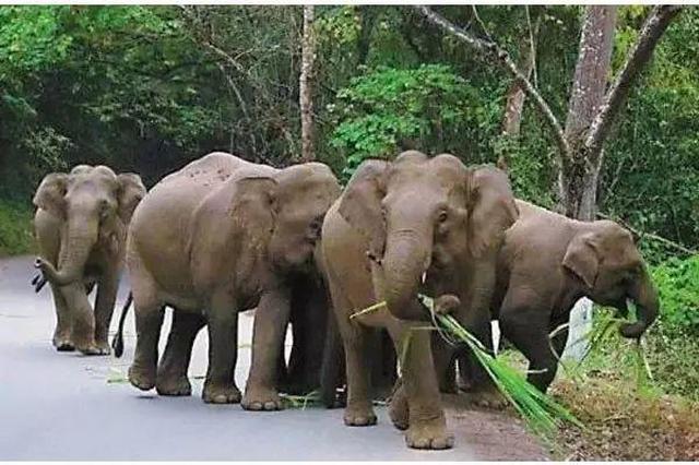 野象群离昆明城区已不到100公里,人象冲突如何化解?