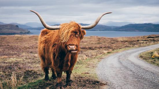 苏格兰高原牛