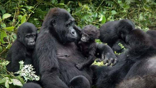 从林中追踪乌干达山地大猩猩