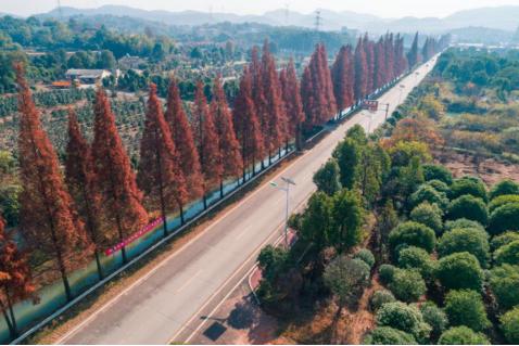 石燕湖水杉公路,成仲冬靓丽风景线