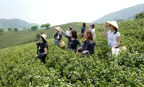游客参与安吉帐篷客酒店采茶主题体验