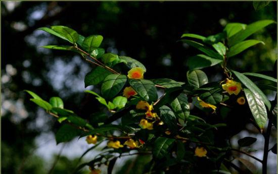 十万大山观赏园的金茶花 图:新浪博主/嵩山老猴