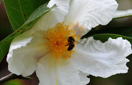 蜜蜂辛勤的采着博白大果油茶花的花蜜 图:新浪博主/嵩山老猴