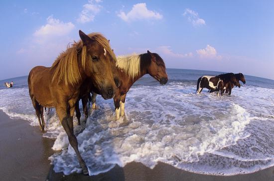 马里兰州阿萨蒂格岛国家海滨的小马