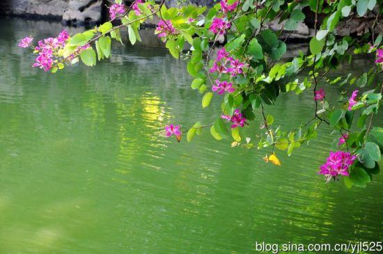 一池青水 图:新浪博主/尤加利的春天