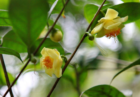 嫩黄色的金茶花挂在枝头 图:新浪博主/馋猫猫-