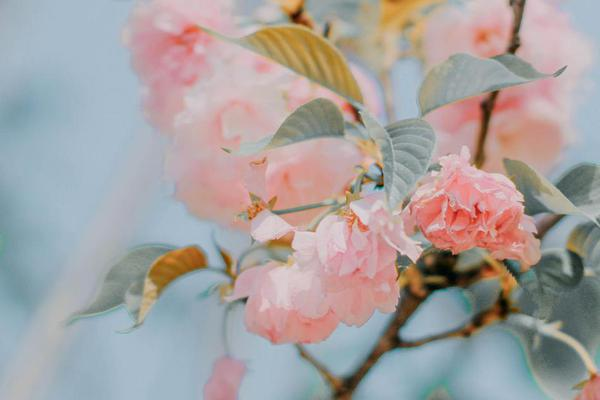 樱花 花开莫辜负