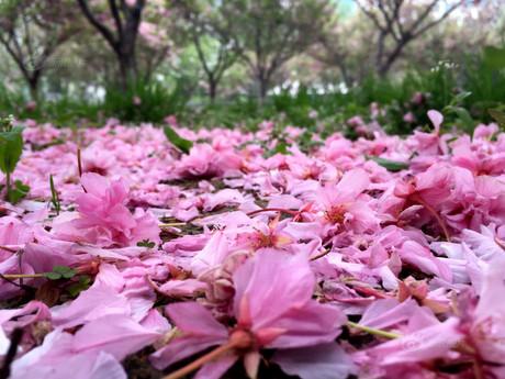 大连强风雨 樱花落 满地殇