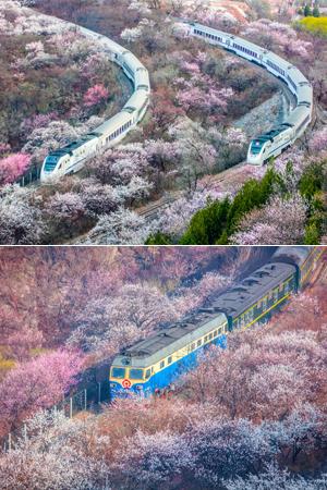 当列车穿越花海,美翻了!