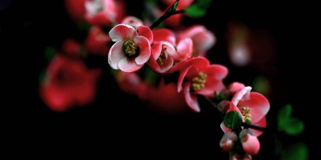 春雨过后海棠花开美不胜收