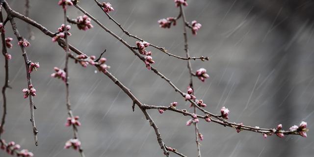 京城下了一场惊艳的桃花雪