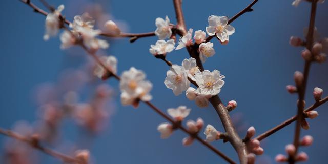 京城三月春花争艳