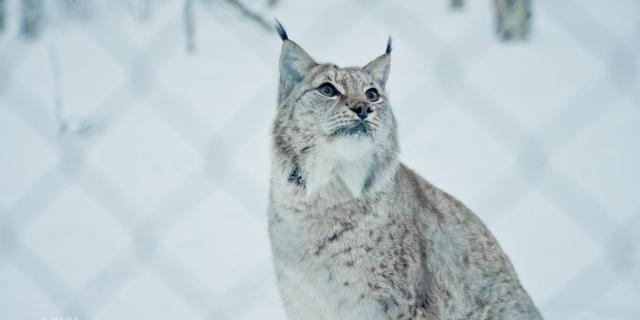 在极地动物园偶遇山猫