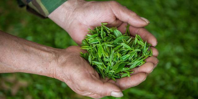 正宗西湖龙井茶是怎样产出的