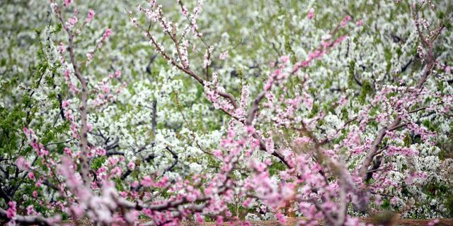 实拍:北方的樱桃花开了