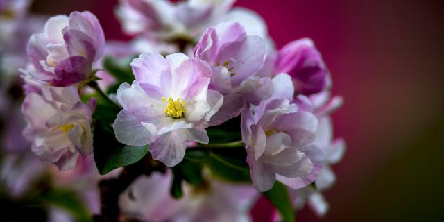 又是海棠花开季