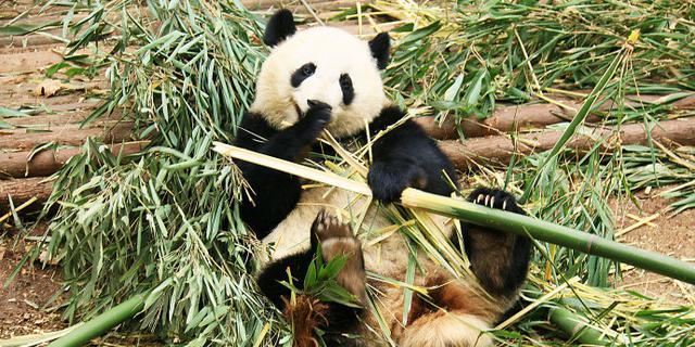 大熊猫彪悍吃相萌翻了
