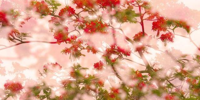 凤凰花开满眼红