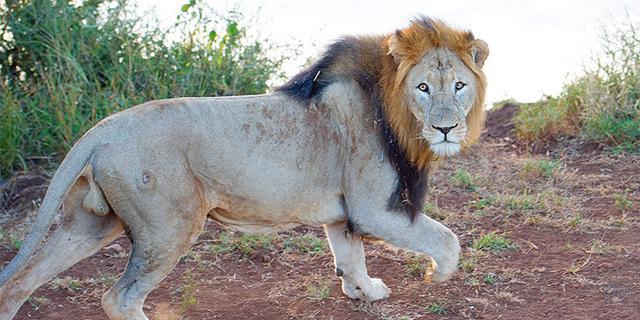 在南非与野生动物的狂野之旅