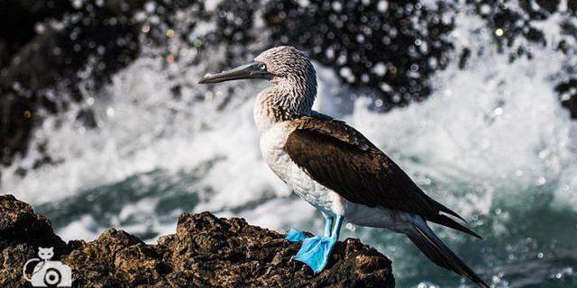 魔性的蓝脚鲣鸟