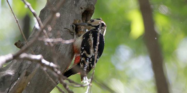 大斑啄木�B