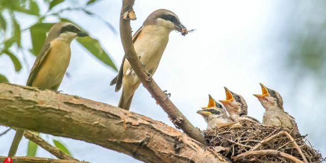 伯劳鸟哺育,为小鸟遮挡阳光