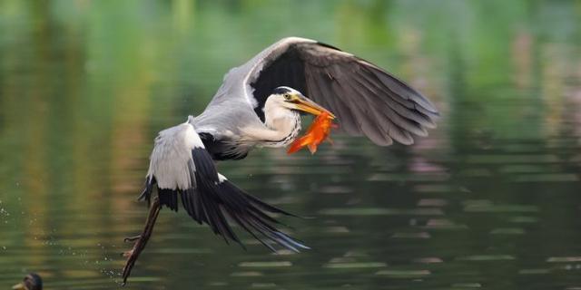 将府公园拍苍鹭捕红鱼